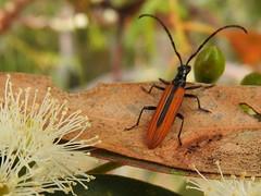 Stinking longicorn beetle Stenoderus suturalis (jeaniephelan) Tags: beetle longbeetle longicornbeetle stenoderussuturalis