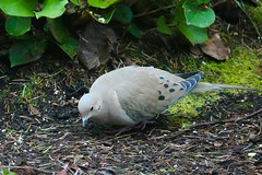 Mourning Dove in Yard - Feb, 2018 (johntubbs) Tags: bird backyardbird feederbird dove mourningdove