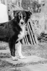 Rian (5 month) (unbunt.me) Tags: aussie fujifilm fujixpro2 hoffnungs australianshepherd hund vsco blackwhite bw dog fuji blackandwhite