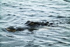 Schnappi, das kleine krokodil. (Michelle Schreuder) Tags: krokodil crocodile alligator roofdier reptiel gevaarlijk dangerous reptile water evergladesnationalpark nature natuur amerika america florida sunshinestate samsungnx30 michelleschreuder animal dier
