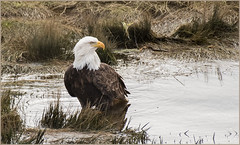 Eagle Bath Time (TT_MAC) Tags: baldeagle eagle haliaeetusleucocephalus bird birdofprey courtenayriver courtenaybc