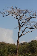 Vulture on tree (Nagarjun) Tags: safaritrektourscoke safari nairobinationalpark kenya africa wildlife mosesnjomo brown dawn morning sunrise sunshine