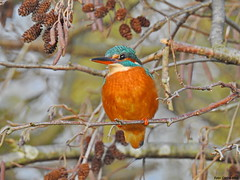 Common Kingfisher (Corine Bliek) Tags: alcedoatthis bird birds vogel vogels natuur nature wildlife water stream sloot kingfisher