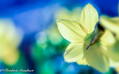 Spring Look (frederic.gombert) Tags: light sun sunrise sunlight garden flowers plant flower winter spring macro blue yellow sky
