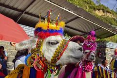 Miradas (Tato Avila) Tags: colombia colores cálido casas animal miradas retrato pasto ipiales ojos peludo