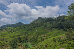 850_2437 (stephho2015) Tags: tea ceylon teaplantation srilanka