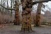 Three Trees (Sockenhummel) Tags: baum bäume baumrinde fenn volksparkwilmersdorf trees platanen volkspark baumstämme baumstamm berlin fuji x30 fujifilm finepix