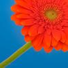 United colors (Karsten Gieselmann) Tags: 60mmf28 blau blumen blüten dof em5markii gerbera mzuiko makro microfourthirds natur olympus orange pflanzen schärfentiefe blossom blue flower kgiesel m43 macro mft nature burglengenfeld bayern deutschland