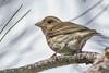Purple Finch (Haemorhous purpureus) (byjcb) Tags: finch birds reno nevada unitedstates us