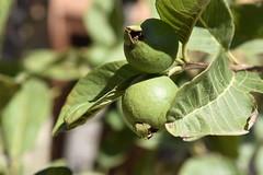 Echte Guave (Psidium guajava),; Luz (Lagos), Portugal (44) (Chironius) Tags: portugal algarve luz frucht fruit frutta owoc fruta фрукты frukt meyve buah rosids malvids myrtales myrtenartige myrtaceae myrtengewächse myrtoideae