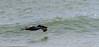 Pelican in Flight (mylesfox) Tags: pelican skimming
