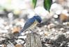 Make a bow -2nd- (ogawa san) Tags: redflankedbluetail bluebird bow gesture happy kanagawa ayase japan bird wildbird pretty ルリビタキ 仕草 お辞儀 日本