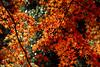 IMG_9809 (Matthew_Li) Tags: red leaf japan maple leaves