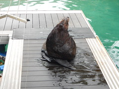 Sea World Seals (Sascha Grant) Tags: seals flipper seaworld queensland goldcoast seaworldqueensland themepark adventure sea beach animals water aquatic display zoo zoological