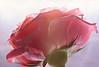 Pink Rose ... (MargoLuc) Tags: pink rose flower petals droplet soft tones pastel light delicate