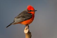Vermillion Flycatcher (Eric Gofreed) Tags: arizona cottonwood deadhorseranch flycatcher vermillionflycatcher yavapaicounty
