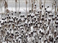 Orange Coneflower Seedheads (BlueRidgeKitties) Tags: canonpowershotsx40hs snow asteraceae orangeconeflower rudbeckiafulgida seed