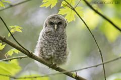 Little Barred Owl (Gregory Lis) Tags: barredowl strixvaria gregorylis gorylis britishcolumbia nikond810 nikon owl