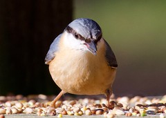 Nuthatch - Taken at Sywell Country Park, Sywell, Northamptonshire. UK (Ian J Hicks) Tags: