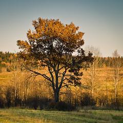 Бабье лето / Indian summer (Yuri Balanov) Tags: forest russia golden autumn gold summer indiansummer indian pentax pentaxk20d tamron tamron2875