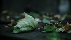 leaf (Darek Drapala) Tags: leaves leaf green grave cemetery cemeteries cementary cementery nature autumn panasonic poland polska panasonicg5 warsaw warszawa powazki lumix light dark sad