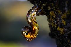 Resin Tree (Strocchi) Tags: tree albero resin resina ambra macro canon eos6d sigma 105mm