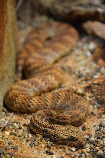 Desert Death Adder (Acanthophis pyrrhus )