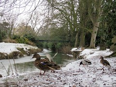 Ducks in the snow Melton Mowbray Leicestershire 1st March 2018 (@oakhamuk) Tags: meltonmowbray leicestershire 1stmarch2018 snow winter