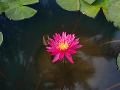 บัวลูกผสมข้ามสกุลย่อยสัญชาติไทย 'ดิโก้ กอลลิ' Nymphaea 'Diego Galli' HxT (ISG) Waterlily Thailand 7 (Klong15 Waterlily) Tags: wahgarden thailandwaterlily pond pondplant diego galli diegogalli diegogalliwaterlily nymphaea gardener lotus flower lotusflower hxtwaterlily intersubgenericwaterlily isgwaterlily บัว บัวลูกผสมข้ามสกุลย่อย ดอกบัว ไม้ดอกไม้ประดับ landscape landscapes ดอกบัวสวยงาม