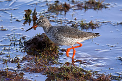 Redshank. (Explored). (spw6156 - Over 6,404,003 Views) Tags: redshank iso 640 cropped low light copyright steve waterhouse explored