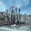 burnt palms (color infrared). faria beach, ca. 2017. (eyetwist) Tags: eyetwistkevinballuff eyetwist film analog colorinfrared palmtrees burned burnt thomasfire fariabeach ventura california mamiya 6mf 50mm color infrared ir cir cir120 russian ishootfilm mamiya6mf mamiya50mmf4l colorinfraredcir analogue mamiya6 square 6x6 120 filmexif iconla epsonv750pro lenstagger mediumformat tiffen yellow12 filter magenta blue landscape foilage leaves branches scarred scorched palm trees tree grove pacificocean wildfire inferno blackened us101 solmarbeach fronds fire