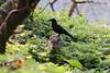 Wild boar and Crow -Okinawa, Japan (Okinawa Nature Photography) Tags: mutualism commensalism boarandcrowworkingtogether wildboarofokinawa crowandwildpig animalsofokinawa animalsofryukyuislands crowsofokinawabyshawnmiller thislittlepiggyhadroastbeef pigsandbirds naturephotographersinokinawa naturephotographersoftheryukyuislands wildboarsoftheryukyuislandsbyshawnmiller boarhuntinginnorthernokinawa interestinganimalbehaivor yanbaruforest oinkoink pigsandfernsofokinawa inoshishi ryukyuinoshishiryuykuwildboar sus scrofariukiuanus kuroda ryukyuinoshishi ryuyku wild boarsusscrofariukiuanuskuroda mammalsofokinawa thislittlepiggyhadcrow scientificphotographersofokinawajapan pighuntingonokinawa lucktimingphotographsbyshawnmiller okinawaconservationandwildlifephotographybyshawnmiller naturalistandwildlifephotographershawnmiller
