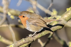 step in to the light (Paul Wrights Reserved) Tags: robin light sun sunshine colour bird birding birds birdphotography birdwatching perched colours colourful