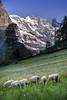 Switzerland_0249 (mannmadephotos) Tags: alpine alps climb climbing countryside eiger europe european high jungfrau landscape lauterbrunnen livestock moench mountain mountains nature panorama scenery scenic schilthorn sheep swiss switzerland travel trekking vacation valley view wengen
