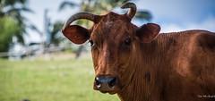 2017 - Regent Cruise - Barbados - Island Tour (Ted's photos - Returns 23 Jun) Tags: 2017 barbados bridgetownbarbados cropped nikon nikond750 nikonfx regentcruise tedmcgrath tedsphotos vignetting face cow bokeh horns animal nose snout