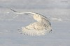 Harfang des neiges - Snowy owl (sandra bourgeois) Tags: passion canada québec canon neige snow winter hiver nature faune oiseaux bird hiboux owl harfangdesneiges