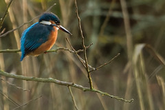 KINGFISHER (_jypictures) Tags: animalphotography animals animal canon7d canon canonphotography w wildlife wildlifephotography birdphotography bird birds birdwatching birdingphotography birding birders photography pictures coatewater coate kingfisher