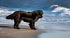 Seasons in the Sun (Kathy Macpherson Baca) Tags: animal animals dog newfoundland dogs waterdog lifesaving swim boats beach earth loving akc black planet brave huge bear surf ocean world nanny
