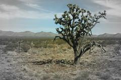 The Joshua Tree (big_jeff_leo) Tags: nature landscape california usa america tree nationalpark remote mountains desert