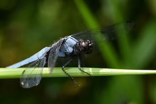 オオシオカラトンボ ♂ (Orthetrum melania)