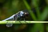 オオシオカラトンボ ♂ (Orthetrum melania) (Hachimaki123) Tags: 日本 japan nara 奈良 萬葉植物園 manyobotanicalgardens トンボ 動物 虫 animal insect insecto libélula dragonfly オオシオカラトンボ ♂ orthetrummelania