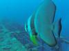 Batfish (Peter_069) Tags: tauchen diving scuba malediven maldives äqypten egypt wasser water underwater unterwasser padi fische fisch fish shellfish muscheln moräne moränen moraine batfish fledermausfisch koralle korallen coral nemo clownfisch clownfish boot boat vessel blaueswasser bluewater