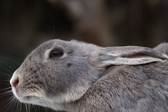 20180106_IMG_5997 (NAMARA EXPRESS) Tags: animal rabbit eye face okuno island cloudy daytime winter outdoor color okunoisland kasahara hiroshima japan canon eos 7d sigma 50mm f14 dg hsm art namaraexp