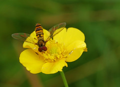 Hoverfly on buttercup (Matt C68) Tags: close up closeup 7dwf macro buttercup butter cup flower hover fly insect nature olympus 60mm panasonic g7 lumix