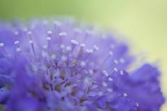 Memories of Spring (setoboonhong ( OFF for a while )) Tags: nature flower macro depth field blur colours bokeh springtime melbourne botanical garden piano piece yiruma spring time