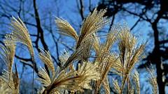 Ziergras (dl1ydn) Tags: dl1ydn gräser gras altglas zeiss tessar f35100mm ziergräser ziergras