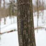 Moose Maple thumbnail