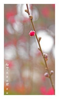 SHF_3324__Peach blossom