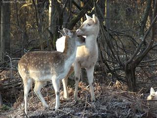 Tender deer
