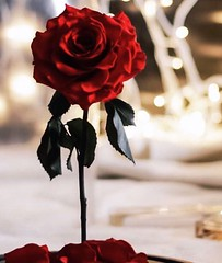 Love is the answer, and you know that for sure; Love is a flower, you've got to let it grow~!! 🌹 #wednesday #night #pretty #redrose #blossoming #dinner #outdoor #lights #focus #instaflower #nikon #photography# #quote #smile #life #love (Gillaniez) Tags: wednesday night pretty redrose blossoming dinner outdoor lights focus instaflower nikon photography quote smile life love